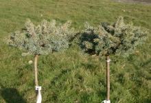 Picea pungens 'Blaukissen' C5 Pa40