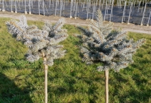 Picea pungens 'Montgomery' C5 Pa40