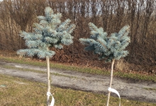 Picea pungens 'Montgomery' C5 Pa60