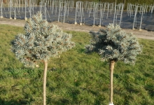Picea pungens 'Oliwia' C5 Pa40
