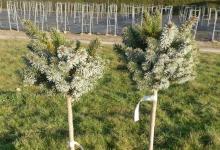 Picea sitchensis 'Silberzwerg' C5 Pa40