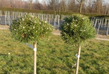 Pinus mugo 'Benjamin' C5 Pa40