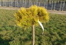 Pinus mugo 'Carsten' C5 Pa40