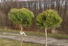Pinus mugo 'Mops' C5 Pa60