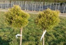 Pinus mugo 'Ophir' C5 Pa40