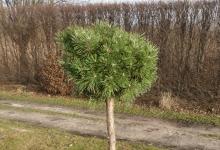 Pinus mugo 'Paradekissen' C5 Pa60