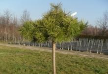 Pinus densiflora 'Low Glow' C7,5 Pa80