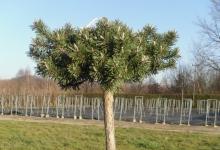 Pinus mugo 'Humpy' C7 decor Pa40