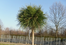 Pinus mugo 'Varella' C7 decor Pa40