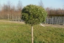Pinus mugo 'Benjamin' C10 Pa60