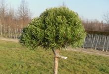 Pinus mugo 'Litomyśl' C10 Pa60