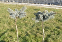 Picea pungens 'Montgomery' C3 Pa40