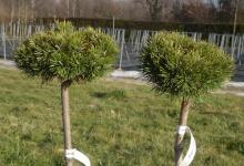 Pinus mugo 'Grüne Welle' C3 Pa40
