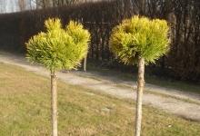 Pinus mugo 'Little Goldstar' C3 Pa60