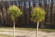 Pinus mugo 'Mops' C3 Pa60 5-15