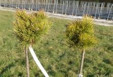 Pinus mugo 'Ophir' C3 Pa40