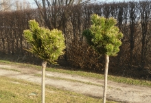 Pinus mugo 'Picobello' C3 Pa60