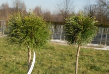 Pinus mugo 'Varella' C3 Pa40
