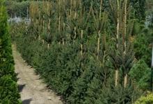 Picea abies 'Cupressina' B 200-250