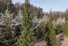 Picea abies 'Cupressina' B 250-300