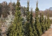Picea abies 'Cupressina' B 300-350