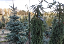 Picea abies 'Frohburg' B 200-250