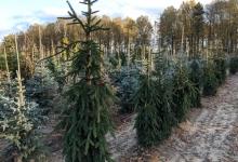 Picea abies 'Inversa' B 250-300