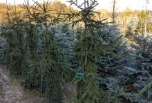 Picea abies 'Rothenhaus' B 200-250