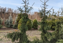 Picea abies 'Rothenhaus' B 300-350