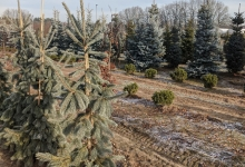 Picea engelmannii 'Glauca' B