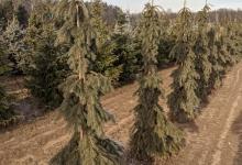Picea glauca 'Pendula' B