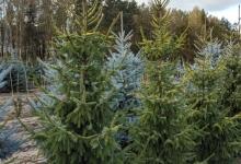 Picea omorika 'Aurea' B 250-300