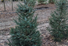 Picea omorika B 150-175