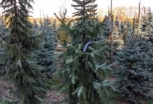 Picea omorika 'Bruns' B 200-250