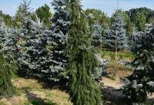 Picea omorika 'Pendula Kuck' B 250-300