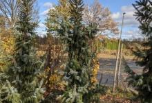 Picea omorika 'Pyramidalis' B 300-350