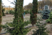 Picea orientalis 'Early Gold' B 200-250