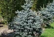 Picea pungens 'Blue Trinket' B 150-175