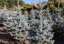 Picea pungens 'Edith' B 125-150