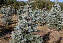 Picea pungens 'Edith' B 175-200