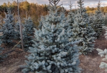 Picea pungens 'Edith' B 200-250