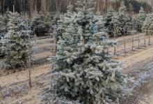 Picea pungens 'Erich Frahm' B