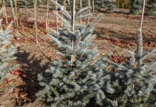 Picea pungens 'Fat Albert' B 125-150