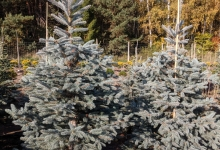 Picea pungens 'Fat Albert' B 200-250