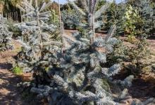 Picea pungens 'Hoopsii' B 125-150