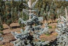 Picea pungens 'Hoopsii' B 150-175