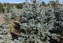 Picea pungens 'Hoopsii' B 175-200