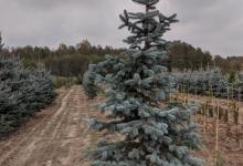 Picea pungens 'Hoopsii' B 300-350