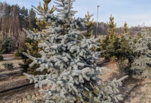 Picea pungens 'Hoto' B 250-300
