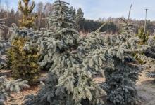 Picea pungens 'Moerheim' B 200-250